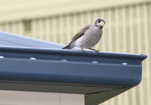 bird on gutter